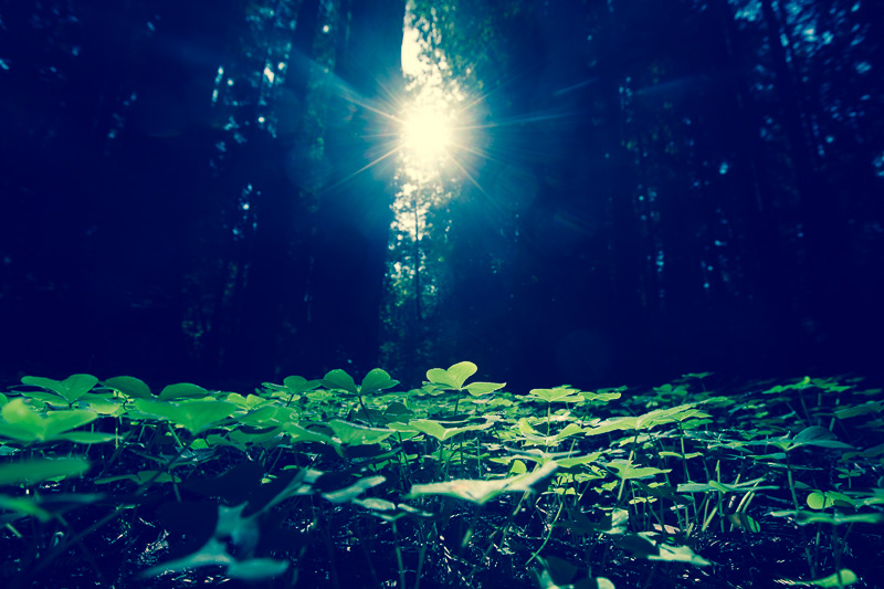 Clover at Henry Cowell Redwoods State Park With The Sun through the Trees